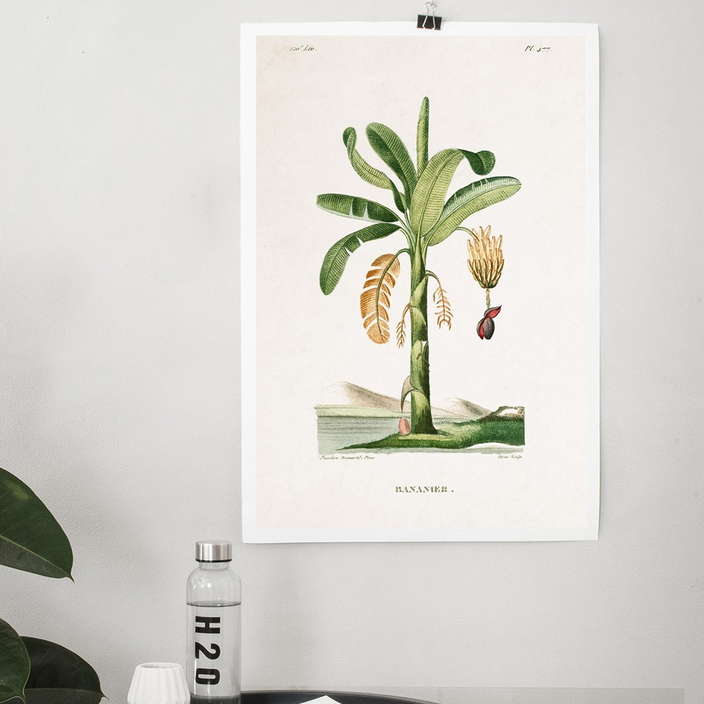 Planche Botanique - Bananier poster David & David Studio