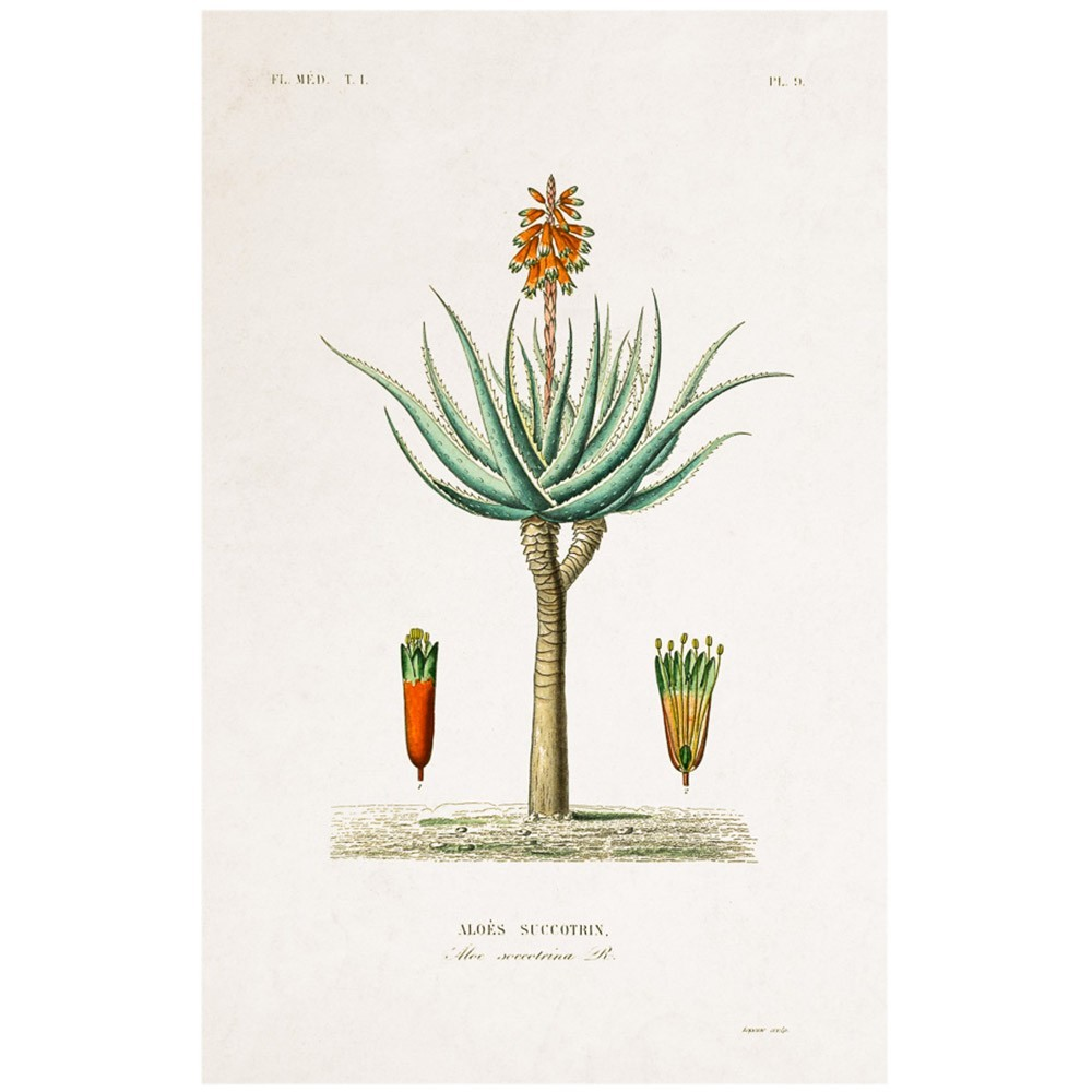 Planche Botanique - Aloe poster David & David Studio