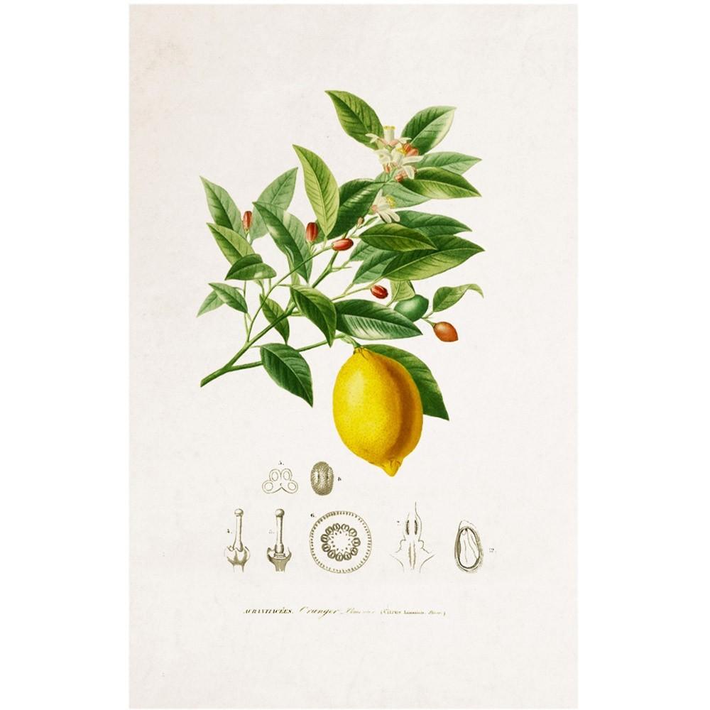 Planche Botanique - Citron poster David & David Studio