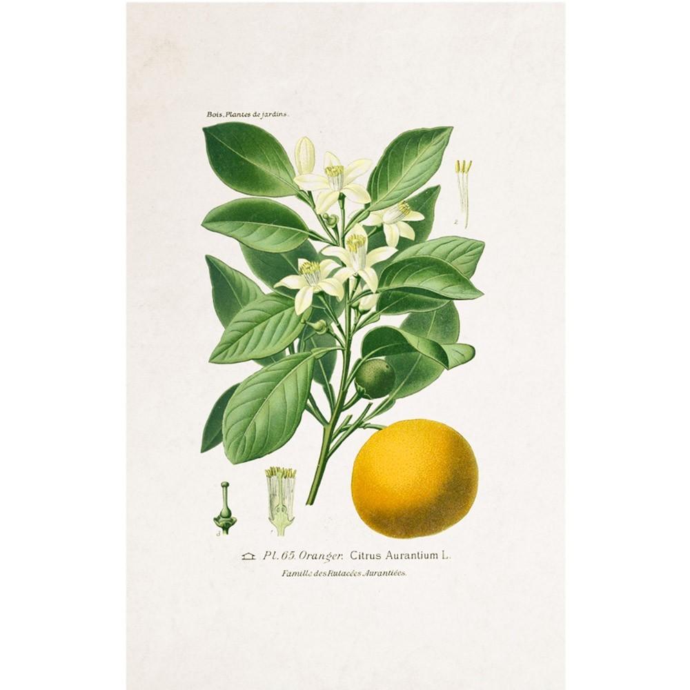 Planche Botanique - Oranger poster David & David Studio